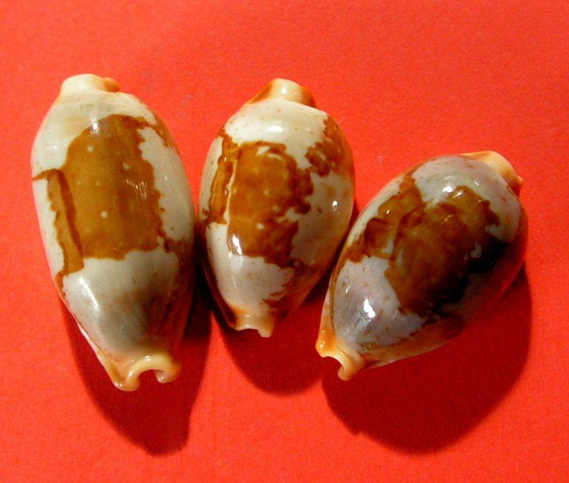 Bistolida stolida clavicola - Lorenz, 1998 - Page 2 P_clavzanz11