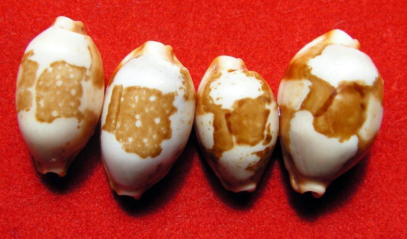 Bistolida stolida rubiginosa - (Gmelin, 1791) P_storub12