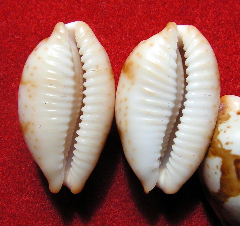 Bistolida stolida rubiginosa - (Gmelin, 1791) P_storub13