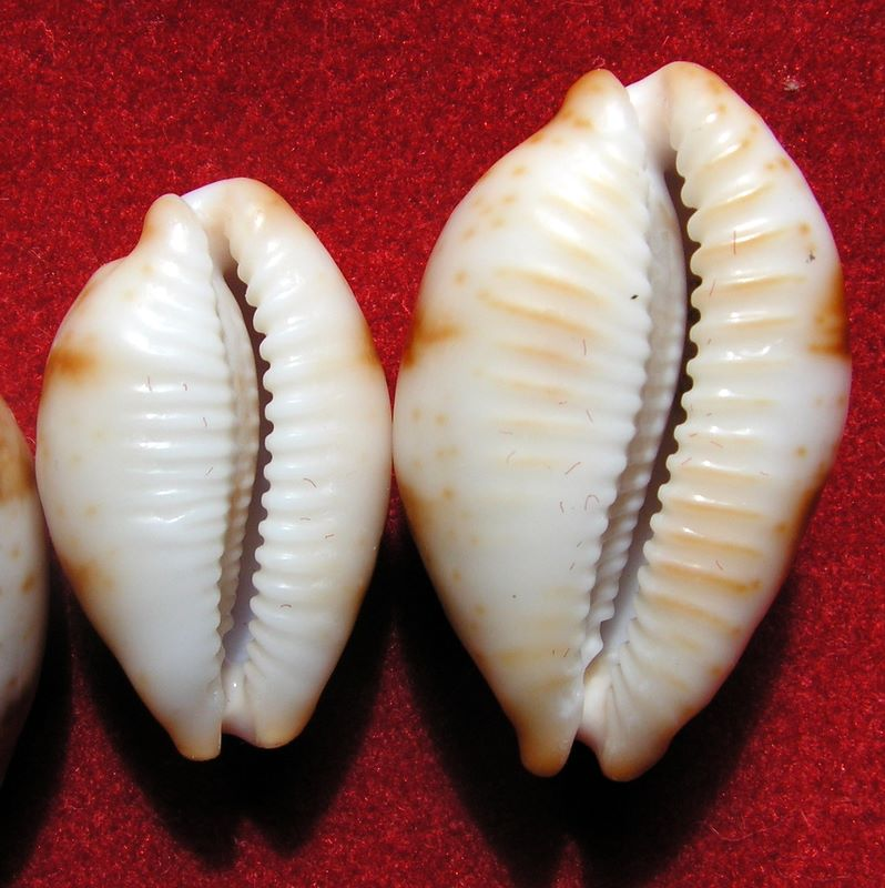 Bistolida stolida rubiginosa - (Gmelin, 1791) P_storub14
