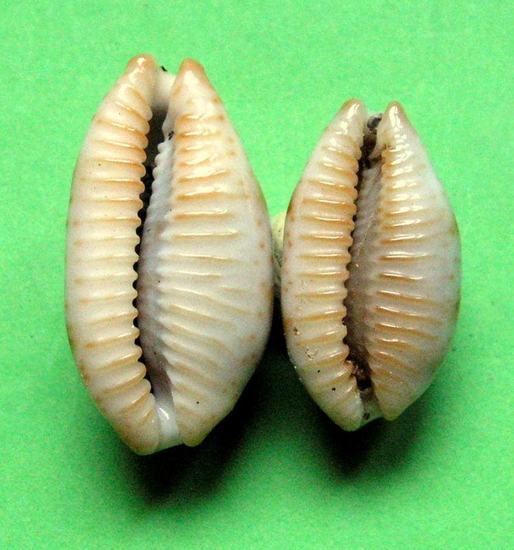 Bistolida stolida rubiginosa - (Gmelin, 1791) - Page 2 P_storufmald12