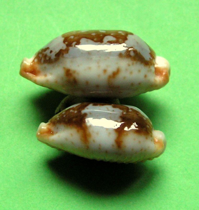 Bistolida stolida rubiginosa - (Gmelin, 1791) - Page 2 P_storufmald13