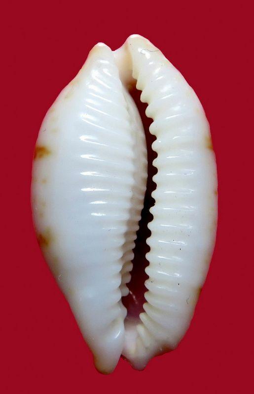 Bistolida stolida salaryensis - Bozzetti, 2008 - Page 2 P_stolsala12