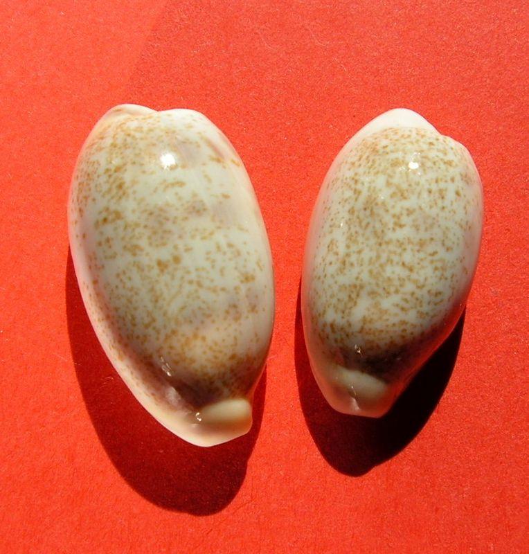 Blasicrura pallidula pallidula - (Gaskoin, 1849) P_pallphil10