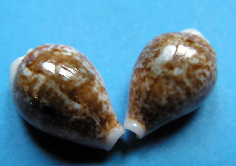 Eclogavena dani - (Beals, 2002) P_dayda10