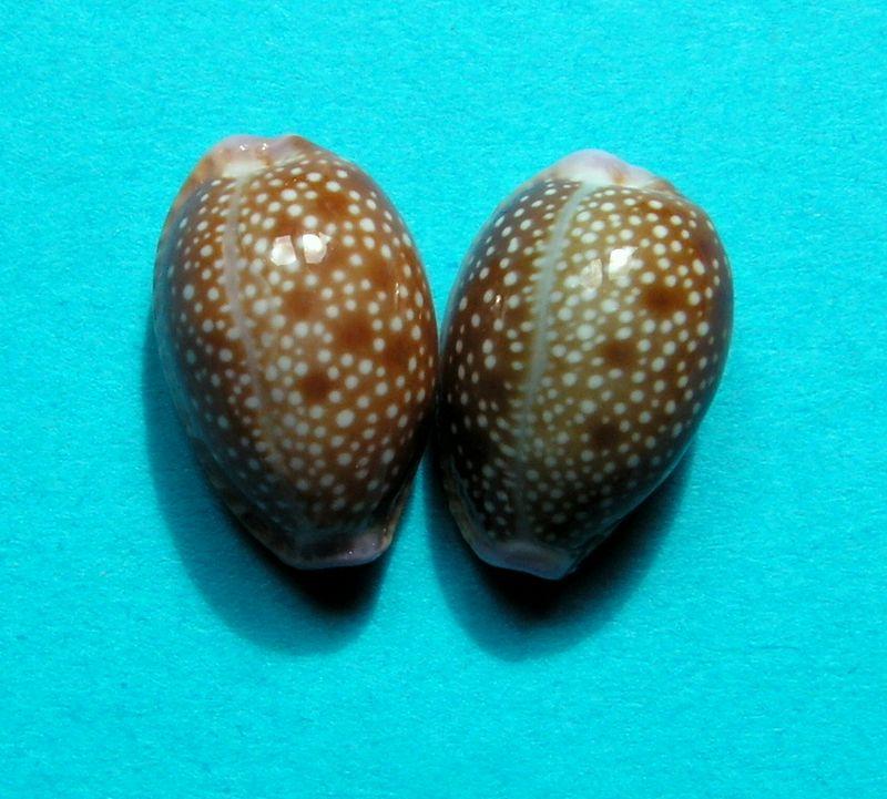 Naria helvola hawaiiensis - (Melvill, 1888) P_helvhawa21