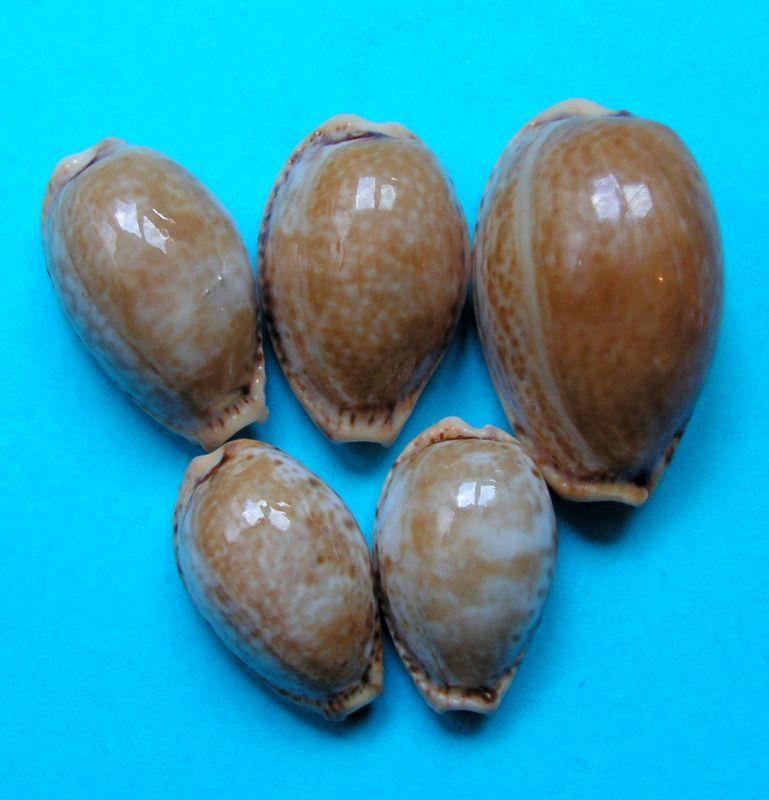 Naria spurca - (Linnaeus, 1758) P_spuroran10