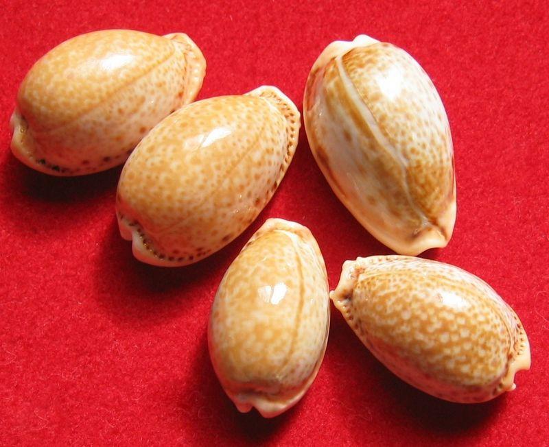 Naria spurca - (Linnaeus, 1758) P_spurca18