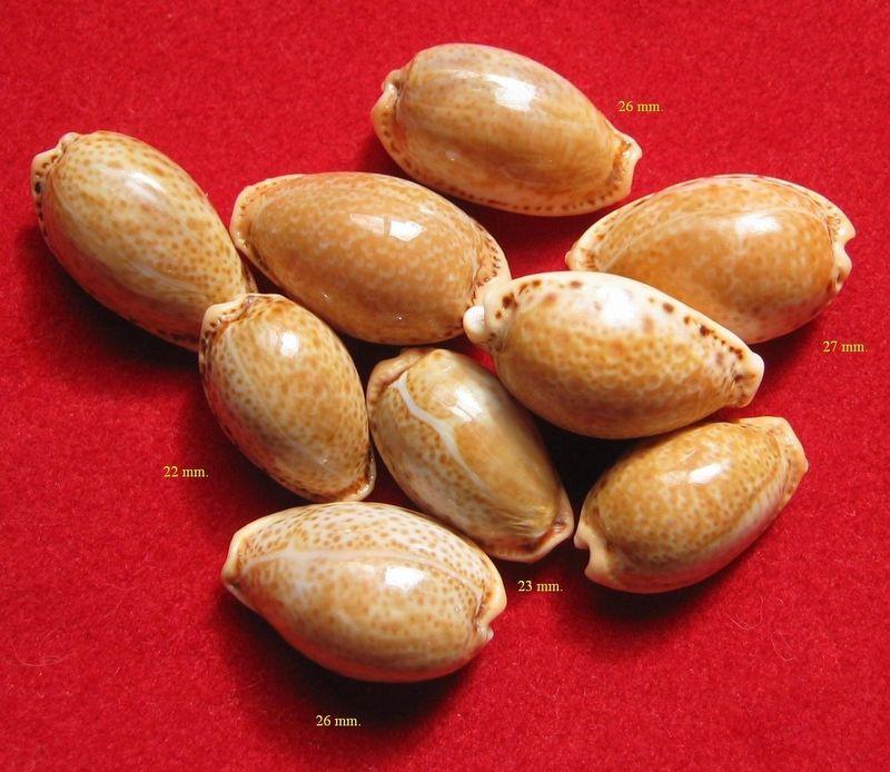 Naria spurca - (Linnaeus, 1758) P_spurca20
