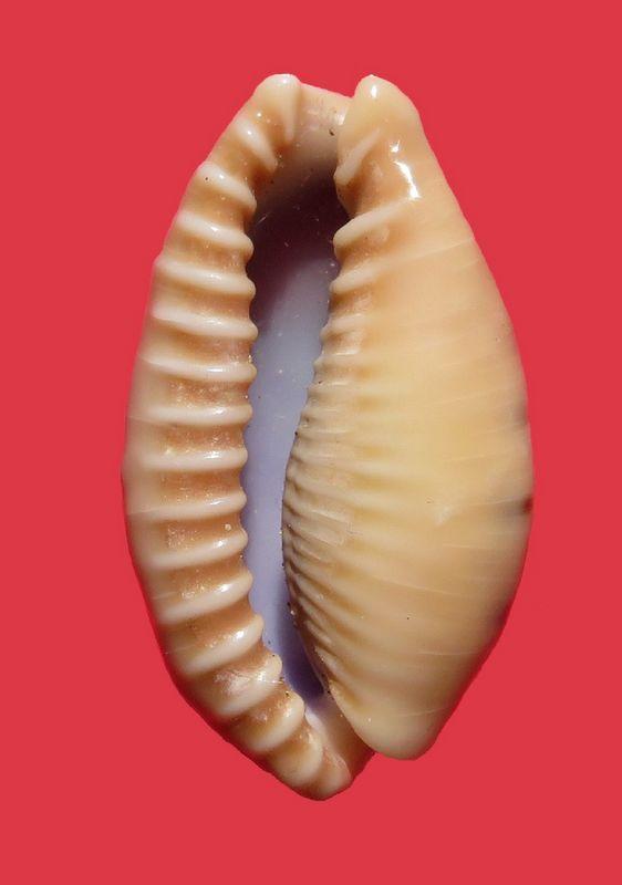 Erronea caurica mayottensis - Vachon & Verneau, 2017 P_caurmayo12