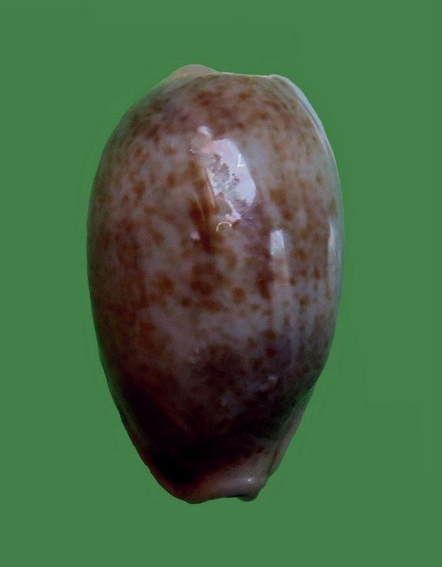 Erronea caurica quinquefasciata - (Röding, 1798)  P_caurmini13