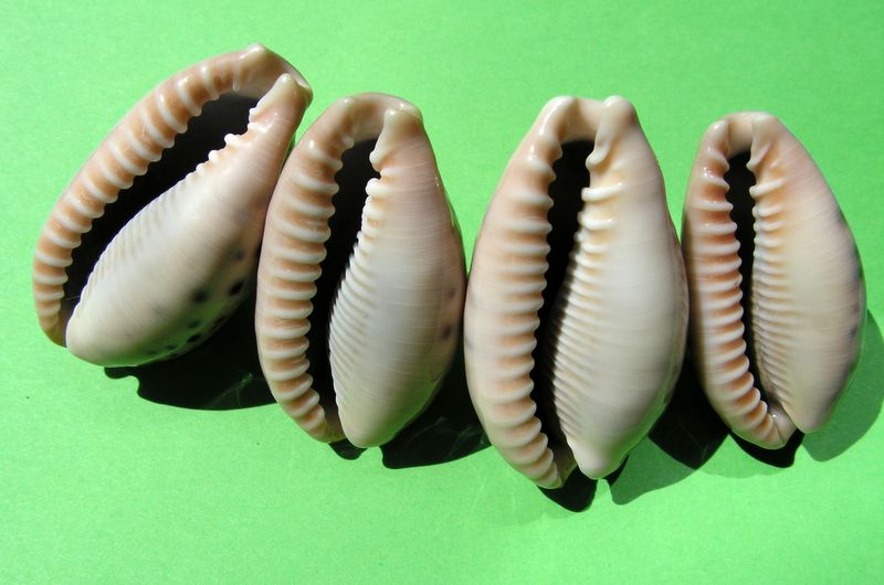 Erronea caurica quinquefasciata - (Röding, 1798)  P_cauquias11