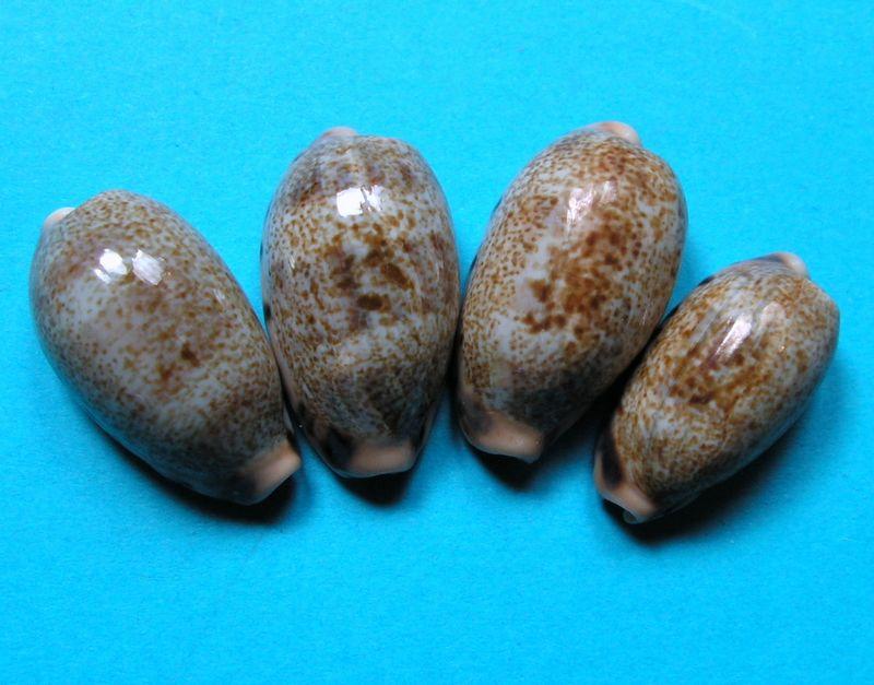 Erronea caurica quinquefasciata - (Röding, 1798)  P_caurquin10