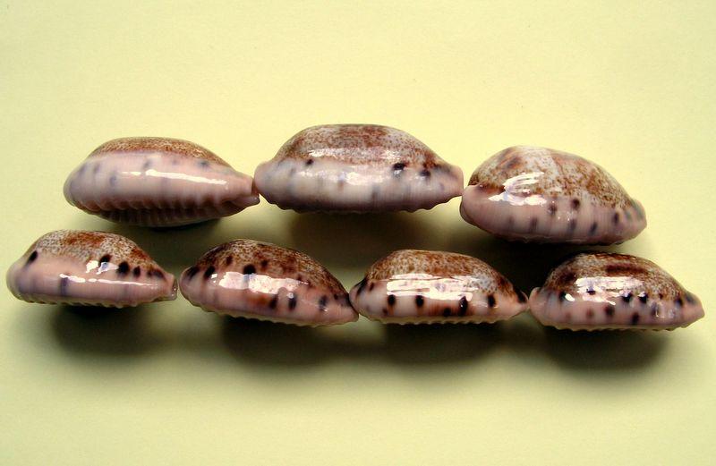 Erronea caurica samoensis - Lorenz, 2002 P_caursamo10