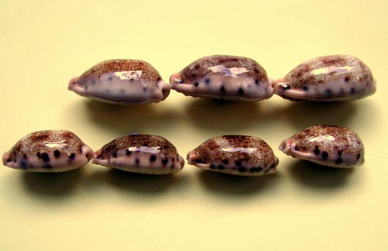 Erronea caurica samoensis - Lorenz, 2002 P_caursamo13