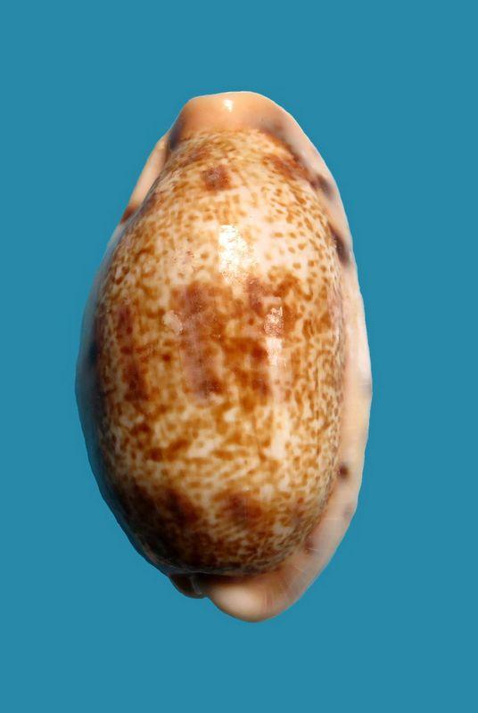 Erronea caurica samoensis - Lorenz, 2002 P_caursamo17