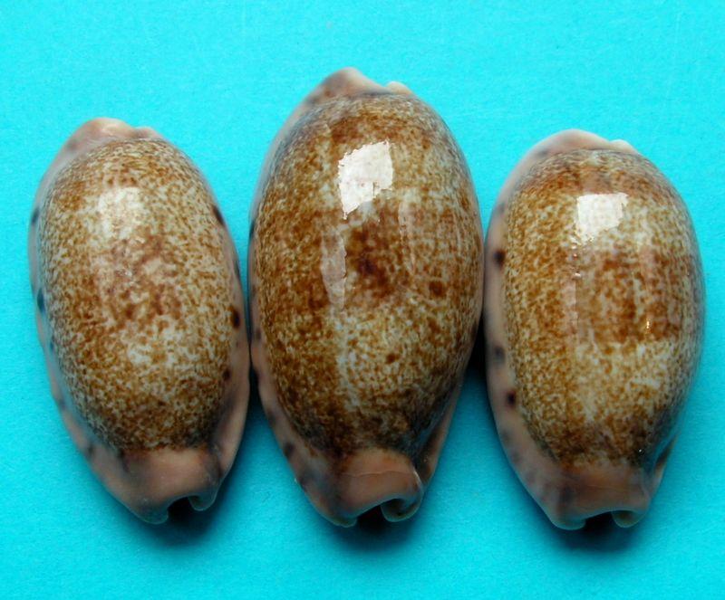 Erronea caurica thema - Iredale, 1939  voir Erronea caurica caurica (Linnaeus, 1758)  P_caurthem10