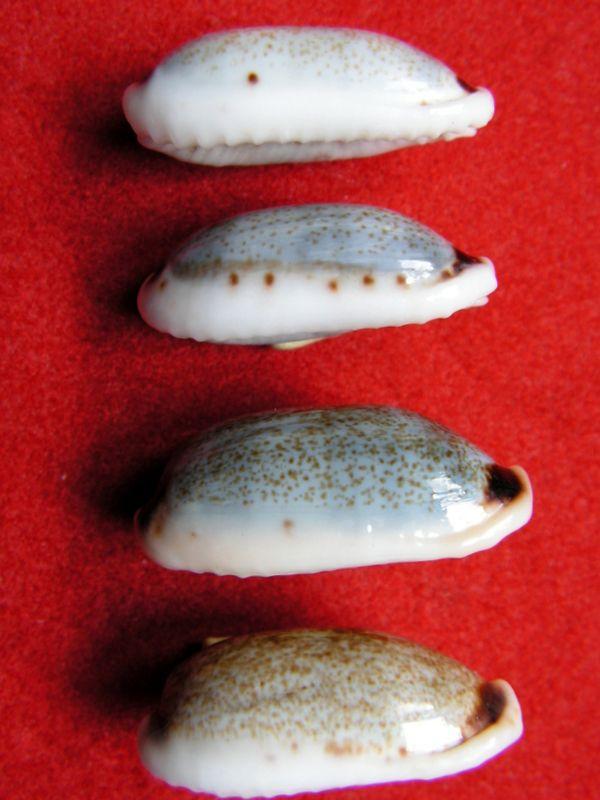 Erronea cylindrica cylindrica - (Born, 1778) P_cylicyli_0