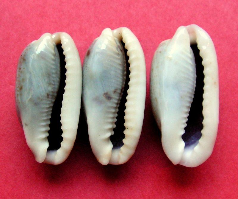 Erronea cylindrica lenella - Iredale, 1939 P_cylilene11