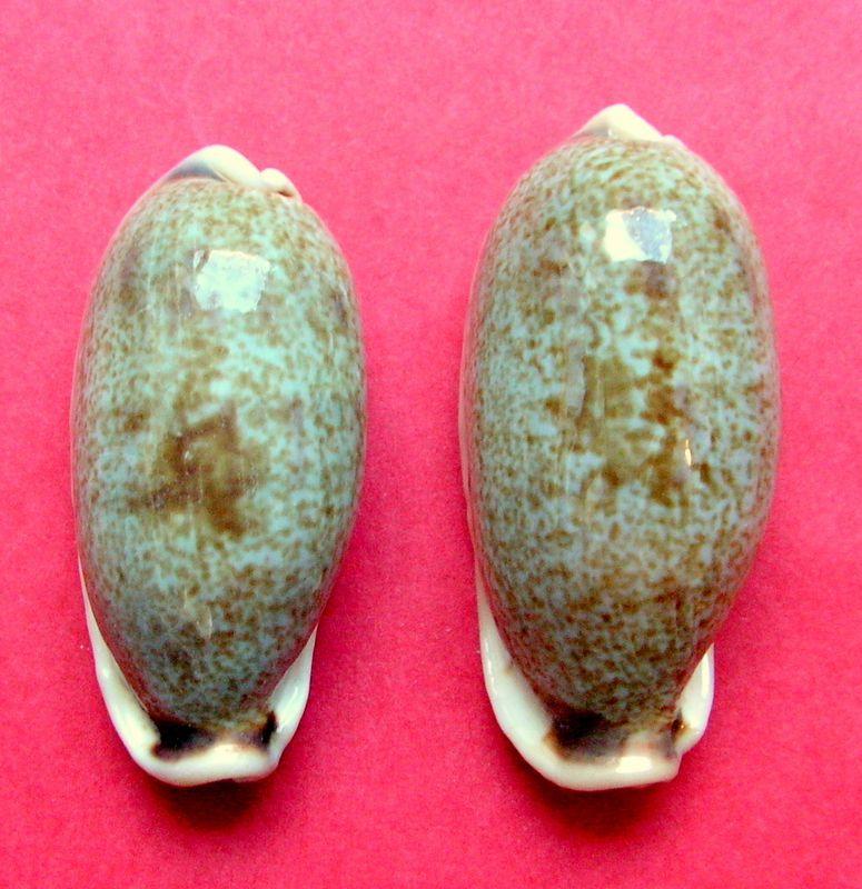 Erronea cylindrica lenella - Iredale, 1939 P_cylilene21
