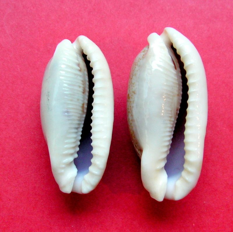 Erronea cylindrica lenella - Iredale, 1939 P_cylilene22