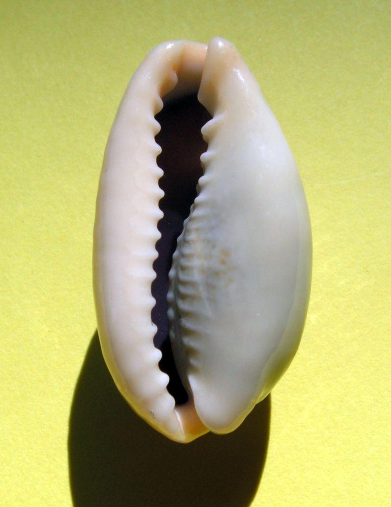 Erronea errones bimaculata - (Gray, 1824) C_errbim16