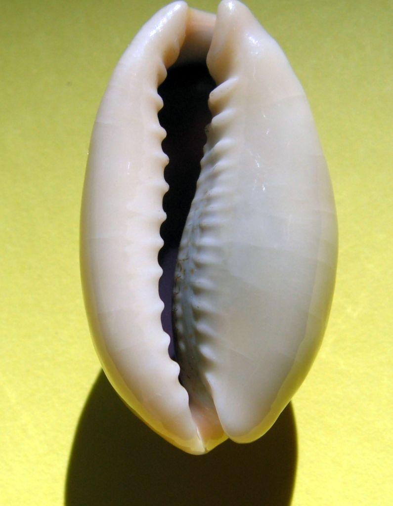 Erronea errones bimaculata - (Gray, 1824) C_errbim21