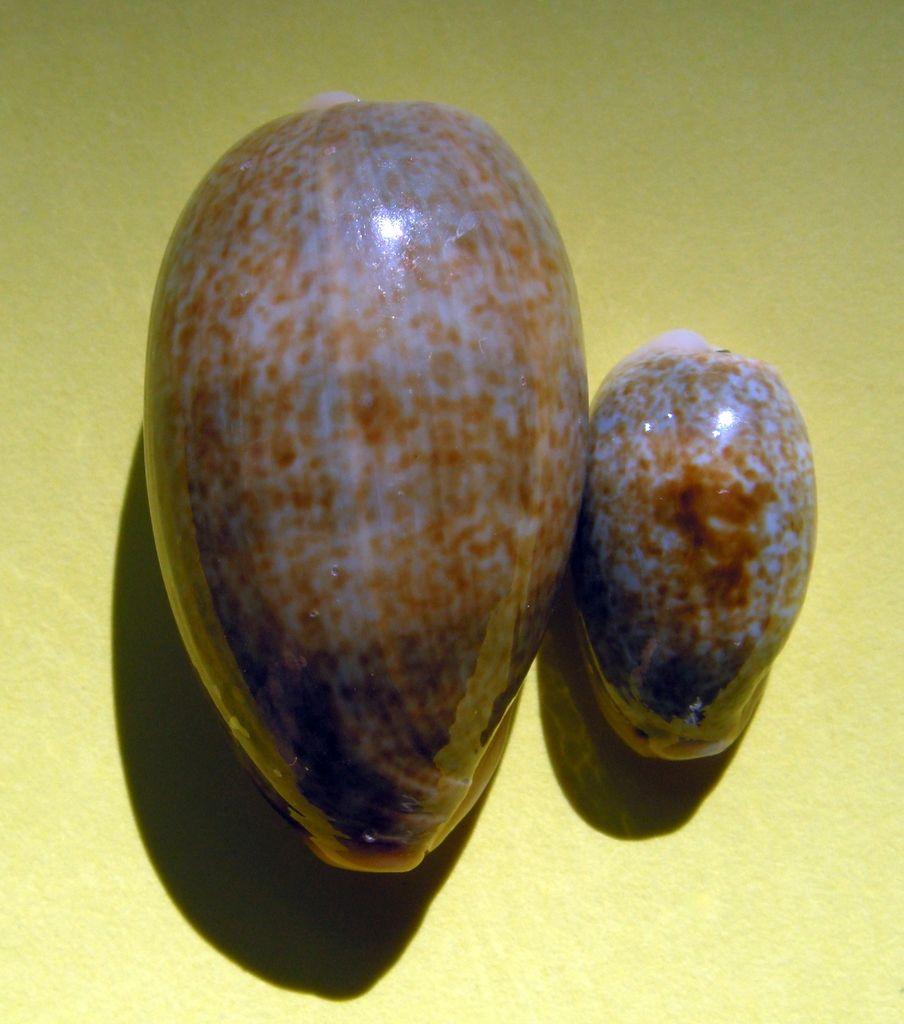Erronea errones bimaculata - (Gray, 1824) C_errbim_0