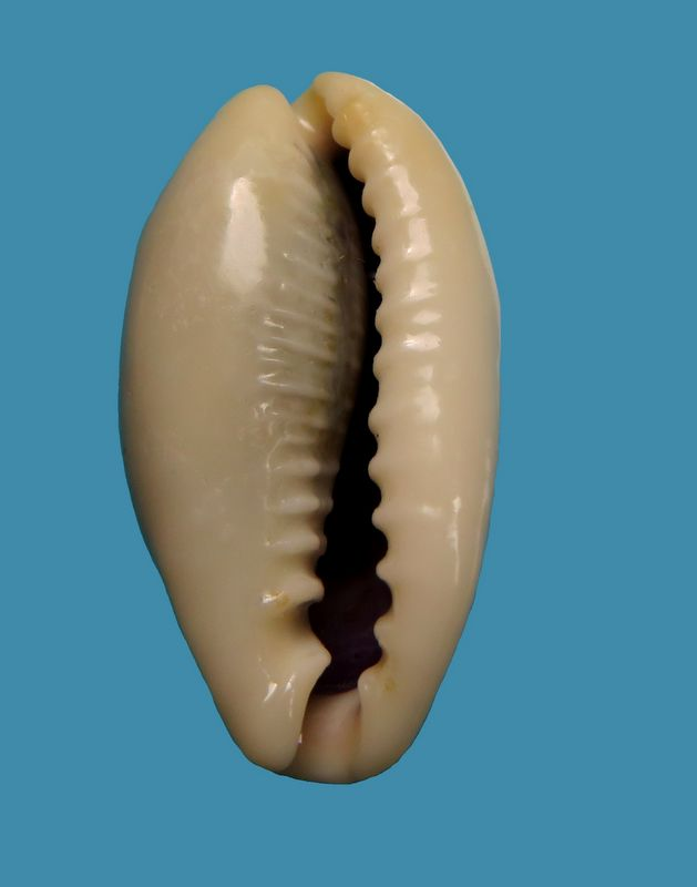 Erronea errones bimaculata - (Gray, 1824) P_errones13