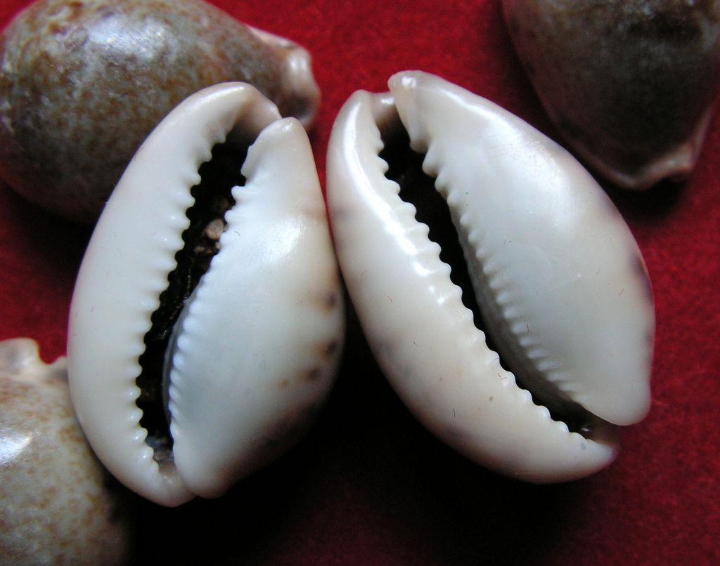Erronea pallida - (J.E. Gray, 1824) P_pall12