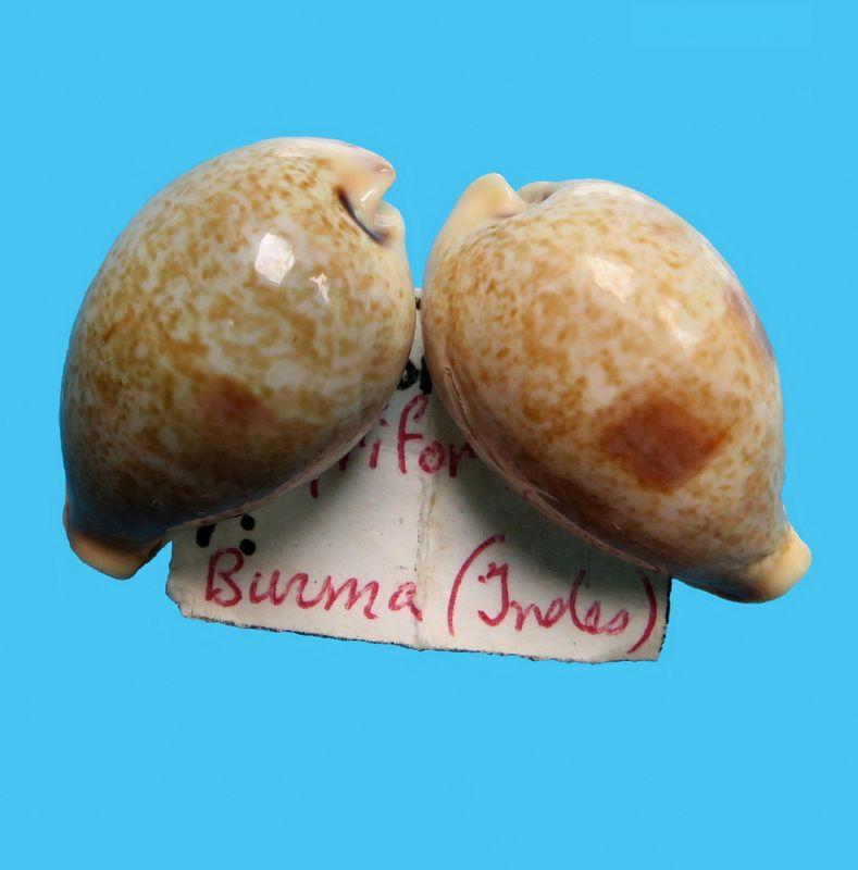 Erronea pyriformis - (Gray, 1824) P_pyrifburm10