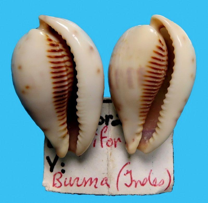 Erronea pyriformis - (Gray, 1824) P_pyrifburm11