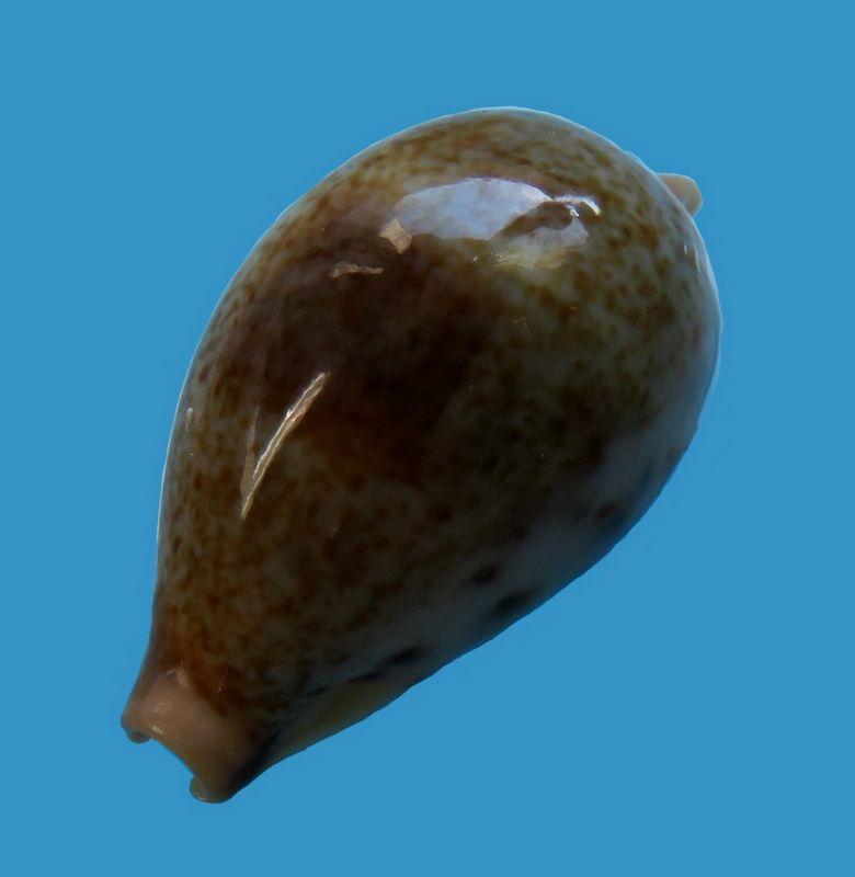 Erronea pyriformis - (Gray, 1824) P_pyrimani15