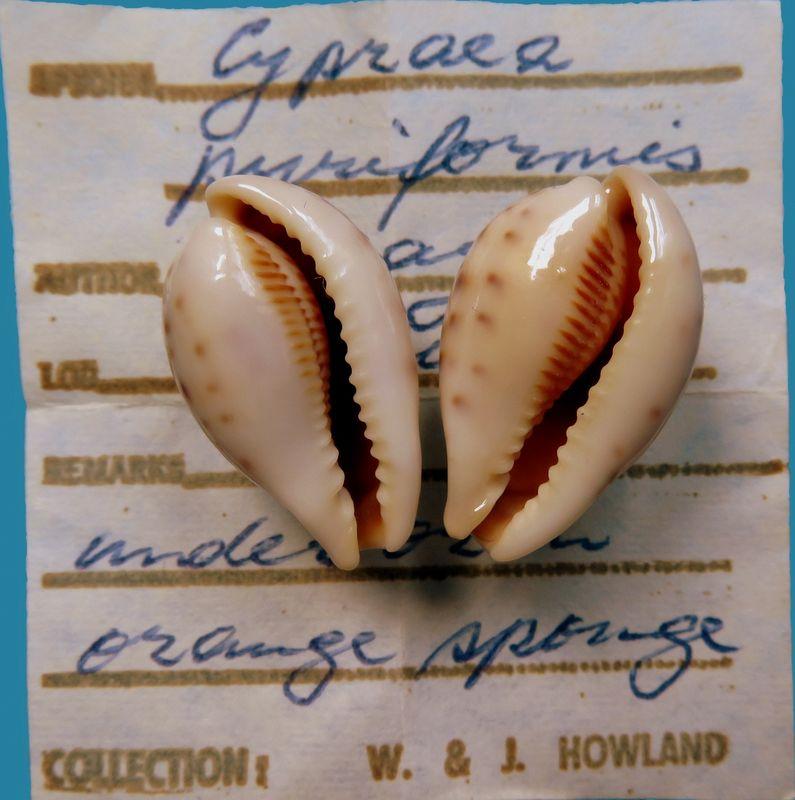 Erronea pyriformis smithi - (Sowerby, 1881) P_pyrismit15