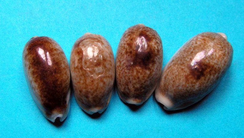 """Erronea errones - (Linnaeus, 1758) - """"Nigérisante"""" P_erronige10"""