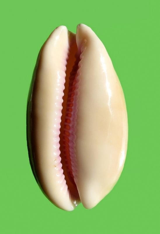 Lyncina leviathan bouteti - (Burgess & Arnette, 1981) P_levibout14