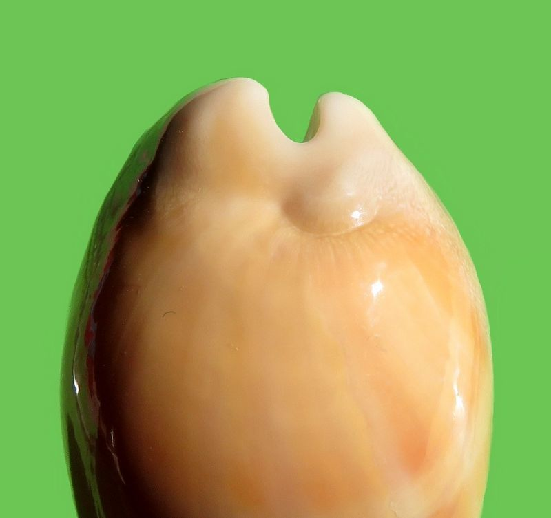 Lyncina leviathan bouteti - (Burgess & Arnette, 1981) P_levibout17