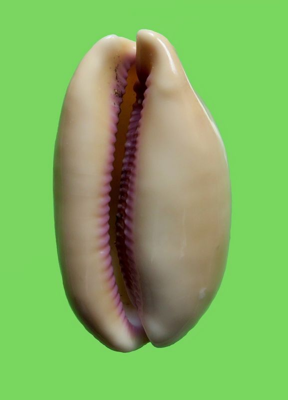 Lyncina leviathan bouteti - (Burgess & Arnette, 1981) P_levibout22