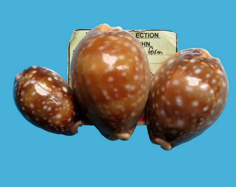 Lyncina vitellus f. orcina - Iredale, 1931 P_vittorci10