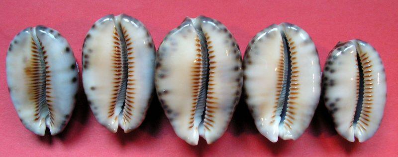 Mauritia arabica arabica - (Linnaeus, 1758)  P_arabwal61