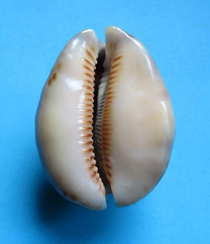 Mauritia arabica asiatica f. gibba  - Cohen, 1949  P_asiagibb12