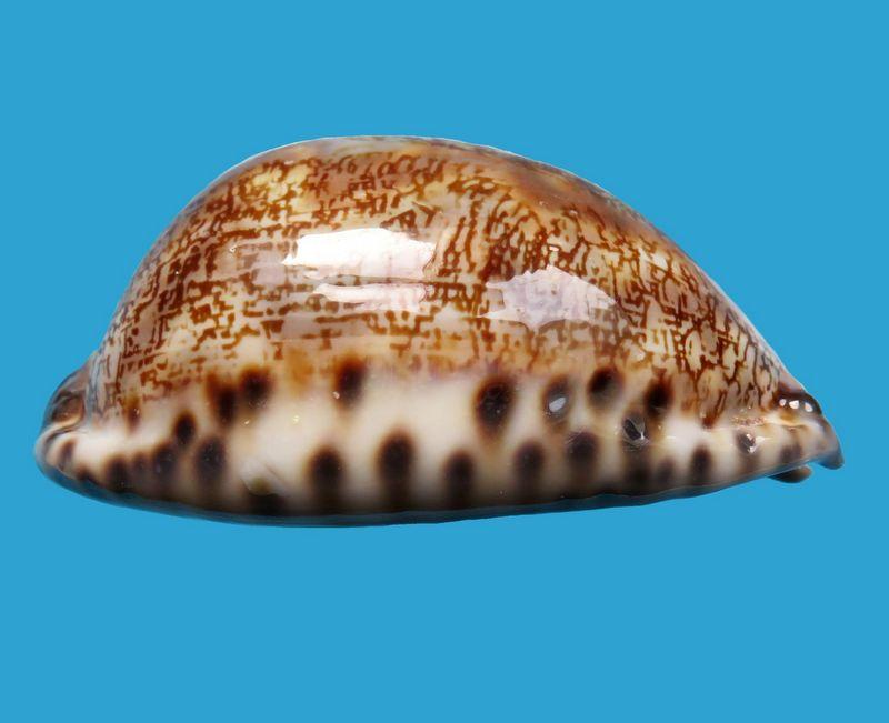Mauritia arabica immanis - Schilder & Schilder, 1939  - Page 3 P_arabimma40