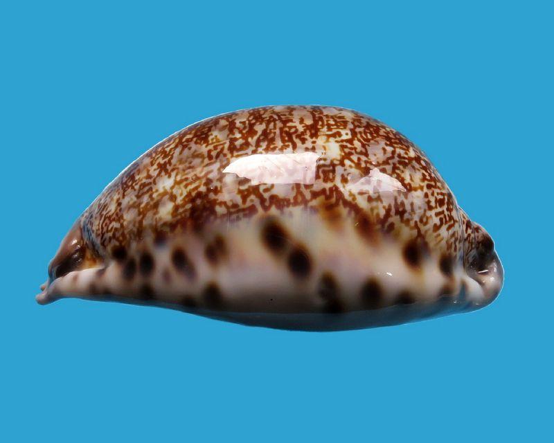Mauritia arabica immanis - Schilder & Schilder, 1939  - Page 3 P_arabimma43