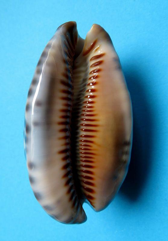 Mauritia arabica immanis - Schilder & Schilder, 1939  - Page 3 P_arabimma25