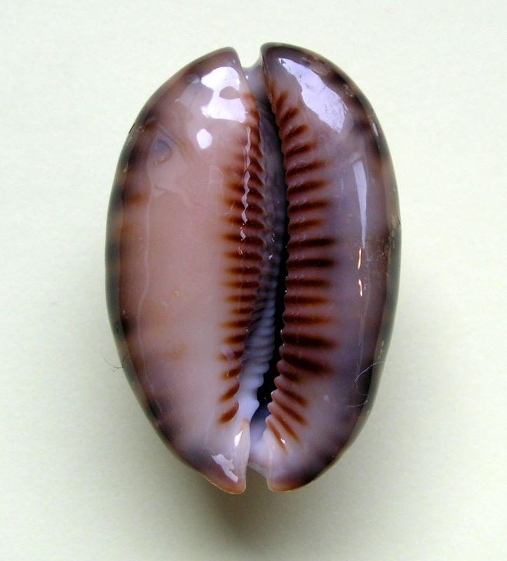 Mauritia arabica arabica - (Linnaeus, 1758)  - Rusty P_ararustwal14