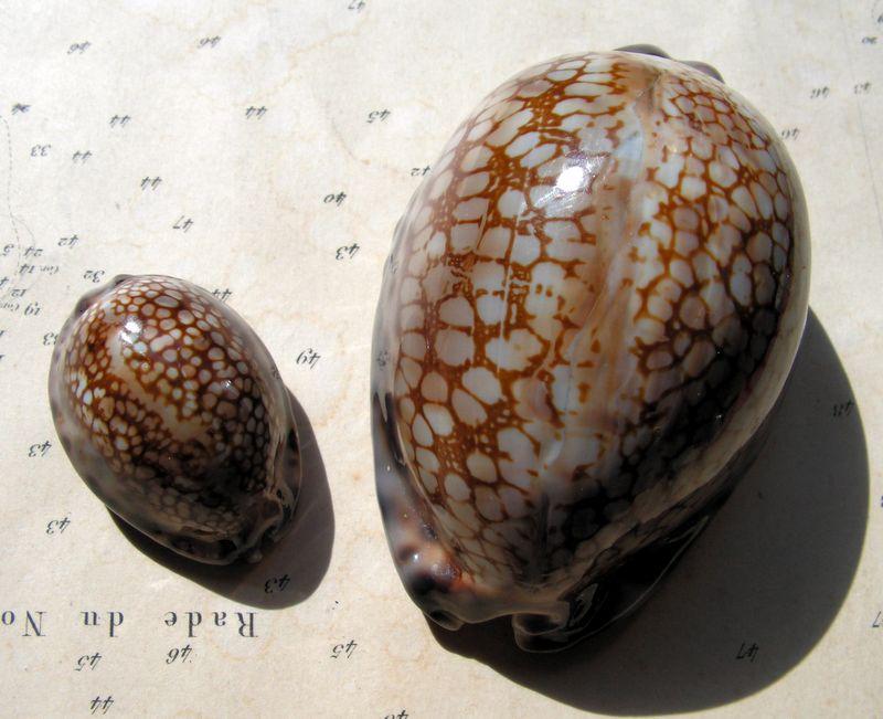 Mauritia maculifera maculifera - Schilder, 1932 P_macmac19