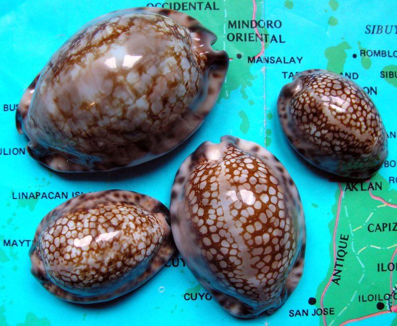 Mauritia maculifera scindata - Lorenz, 2002 - Polynésie Française P_macsci10