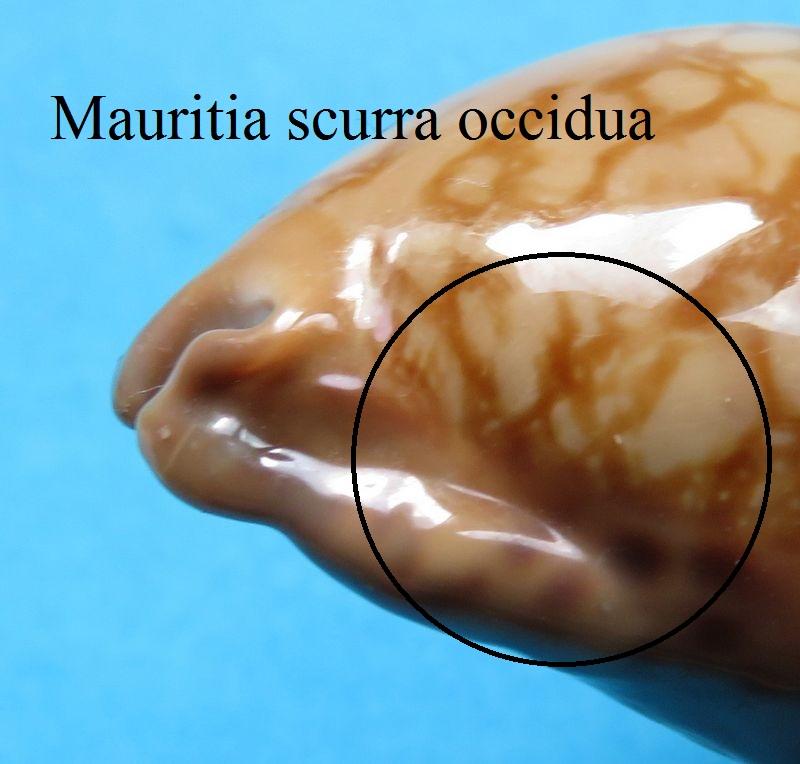 Mauritia scurra scurra - (Gmelin, 1791)  P_scurscur17