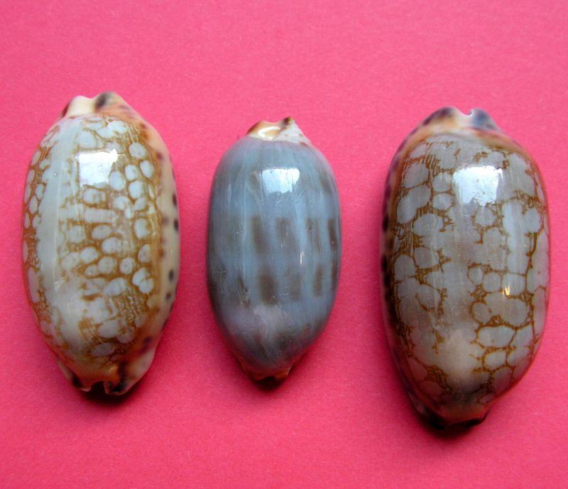 Mauritia scurra scurra - (Gmelin, 1791)  P_scurscur19
