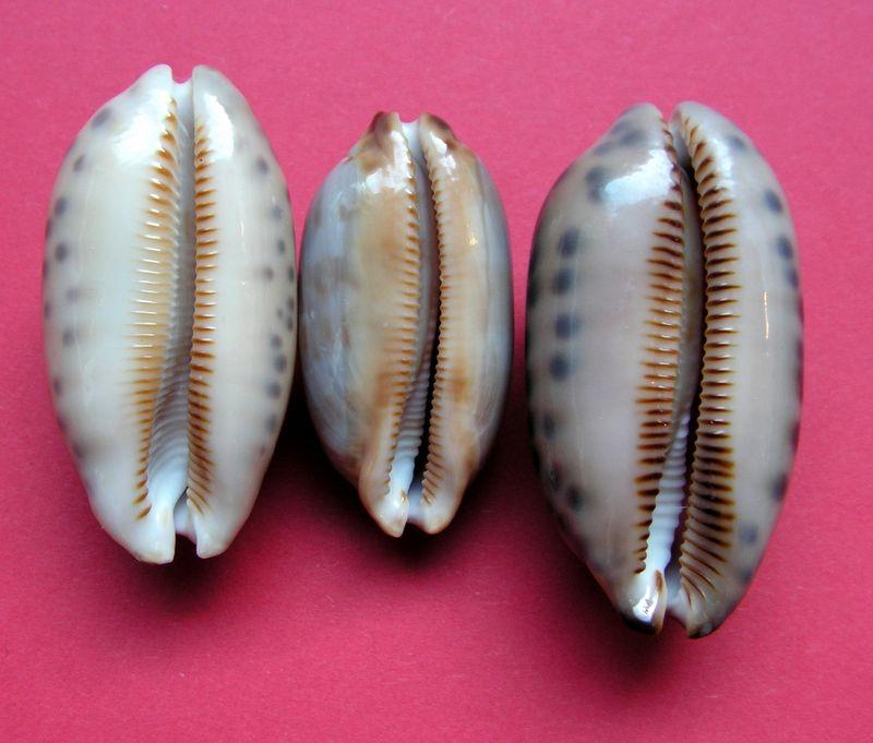 Mauritia scurra scurra - (Gmelin, 1791)  P_scurscur20